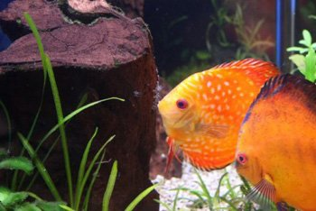 infodiscus poissons discus information