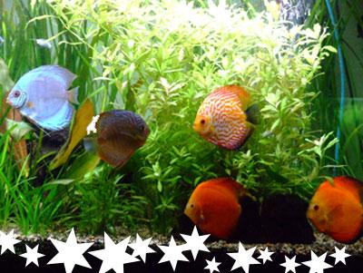 Le comportement des discus en aquarium