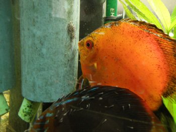 l'eclosion discus couple