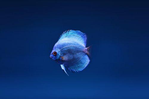 poisson: discus cobalt