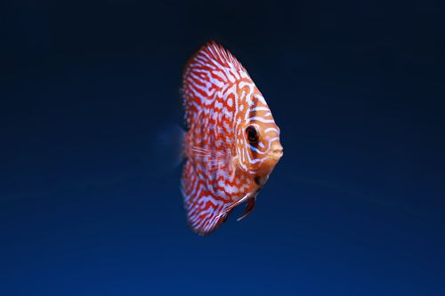 L'acclimatation des discus et des poissons eau douce