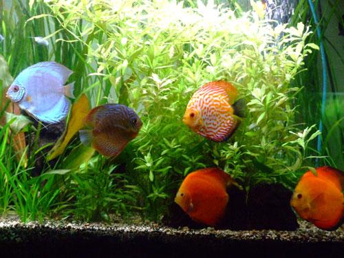 Les poissons Discus en groupe