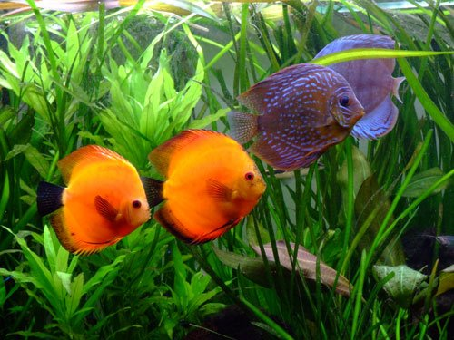 couples de Discus