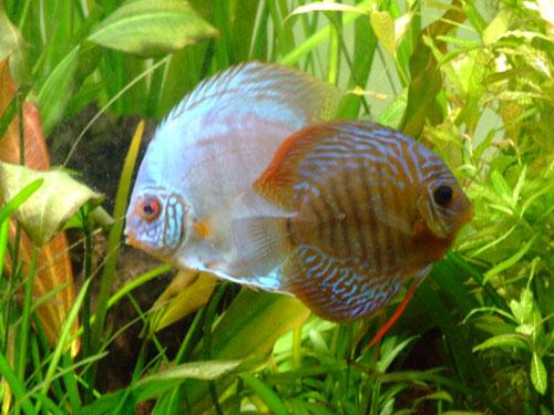 Discus poissons
