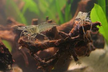 crevettes eau douce