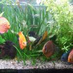 LE DISCUS: symphysodon ou poisson pompadour
