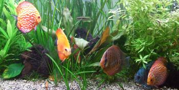 le discus est un poisson d'eau douce