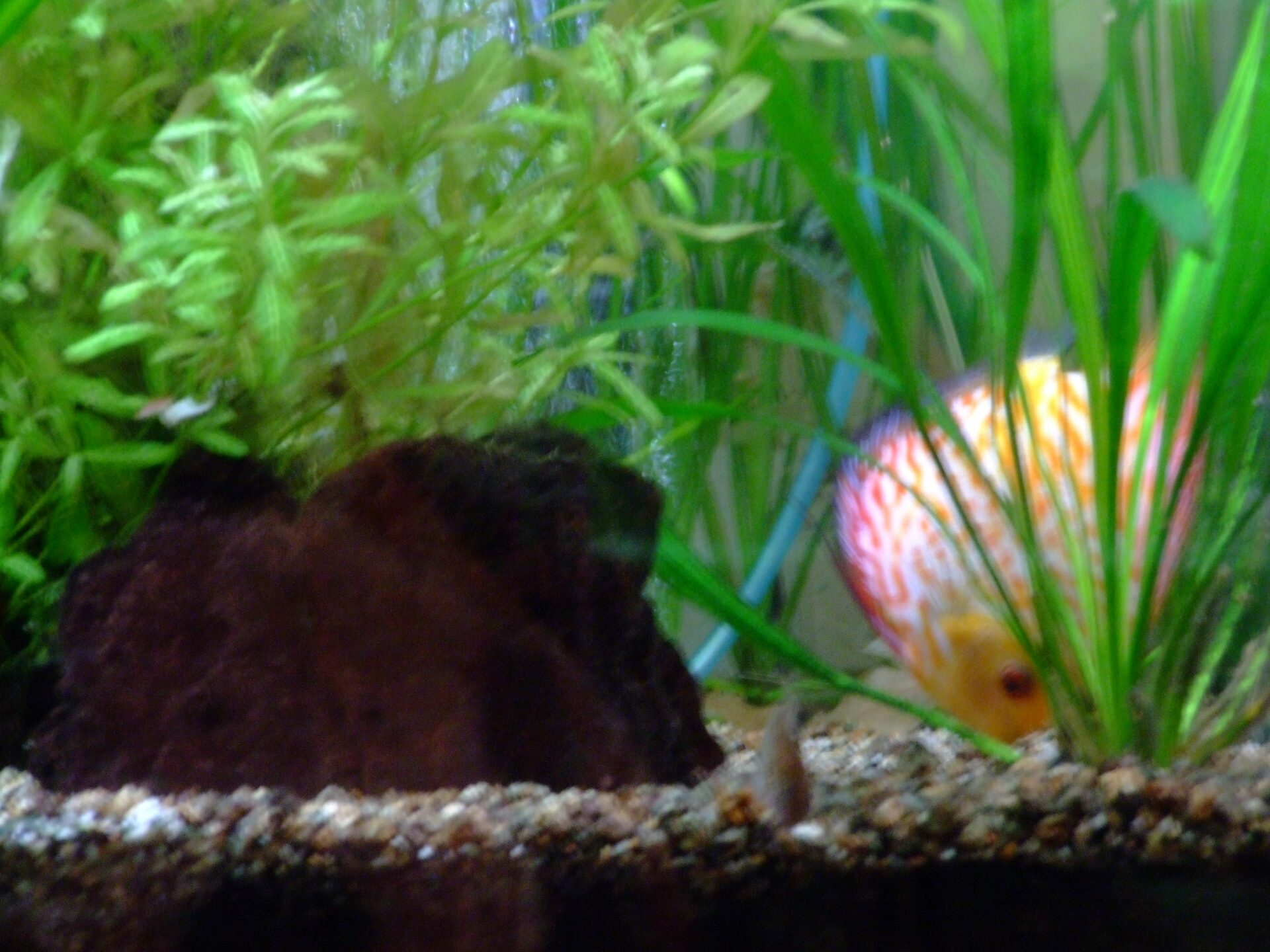 bien nourrir ses discus et les poissons d aquarium