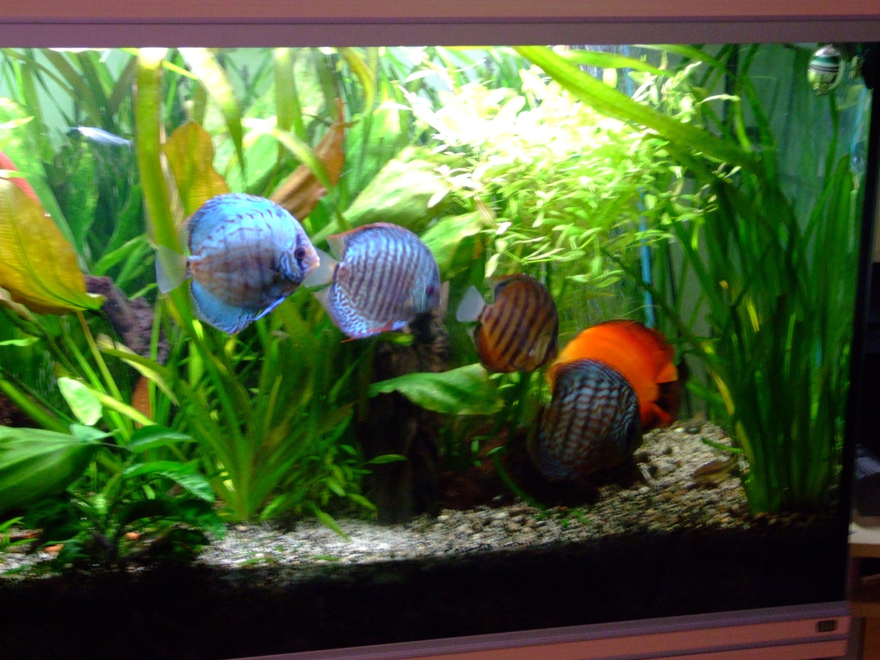 Bien nourrir ses discus et les poissons d 39 aquarium for Nourriture aquarium