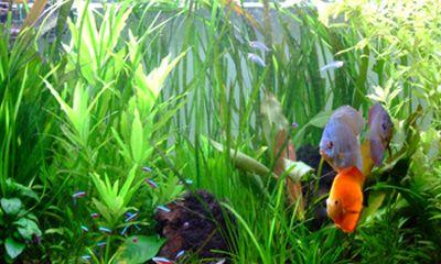 Choix des plantes d 39 aquarium et sp cificit s pour for Tous les plantes