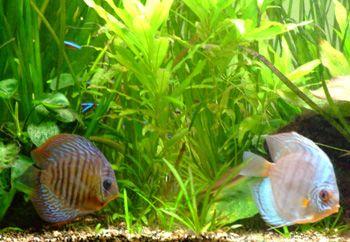 les plantes en aquarium