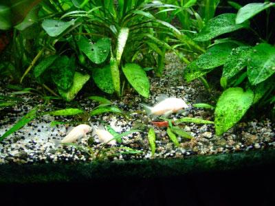 Les crevettes d'eau douce dans les aquariums