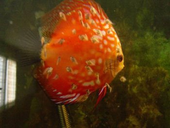 reproduction discus