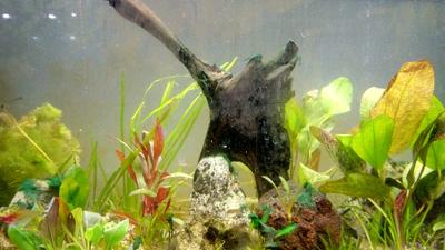 algicides pour aquariums. Les aquariums et les algues