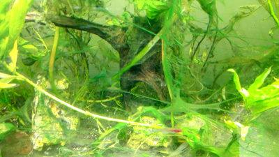 algues dans aquariums