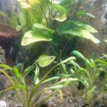 Les algues bleues indésirables dans un aquarium