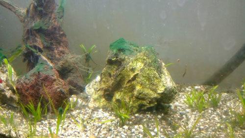algues bleues noires ou vertes