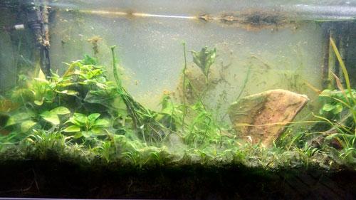 Les algues brunes indésirables dans un aquarium