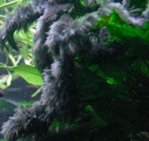 presence algues pénicillées ou pinceaux par zones