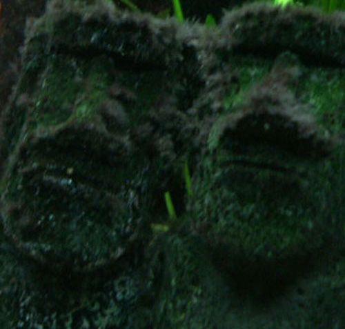 algues pénicillées
