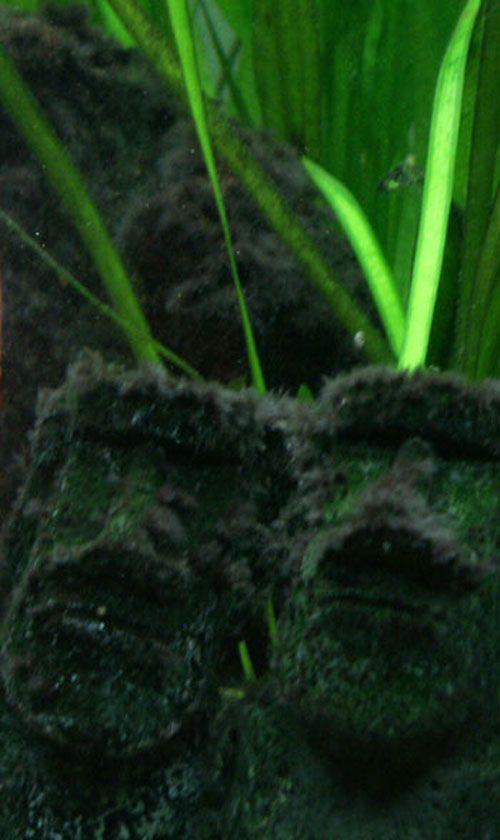 Les algues pénicillées (pinceaux) indésirables dans un aquarium