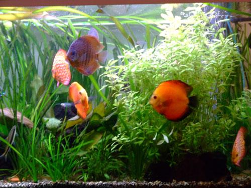 Les Discus aquariums
