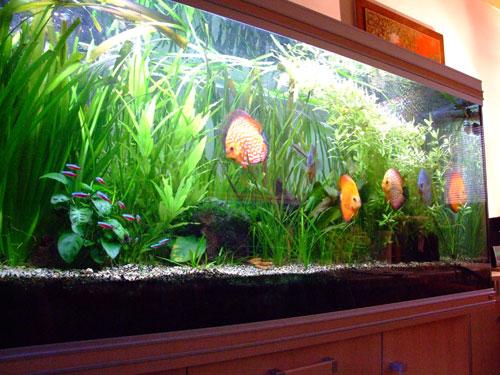 scalaires et autres poissons
