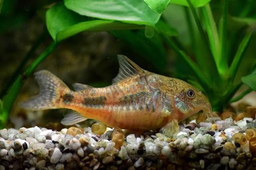 Les corydoras et la nourriture pour poissons