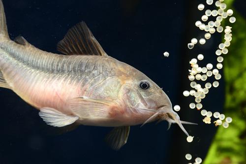 La reproduction des poissons corydoras