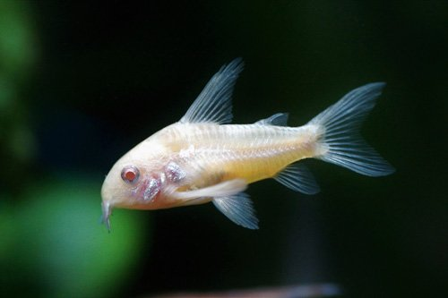 corydoras albinos qui nage
