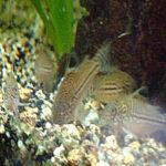 Le corydoras est un poisson de fond, attrayant et fouineur
