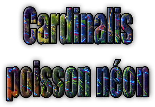 Les poissons cardinalis ou tétras néons, les 4 points à connaitre