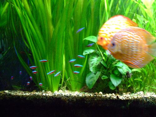 Discus et poisson cardinalis