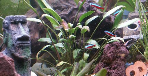 poissons cardinalis