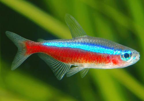 Les poissons cardinalis