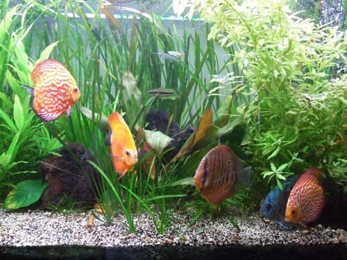 Le silure de verre dans un aquarium avec des poissons Discus