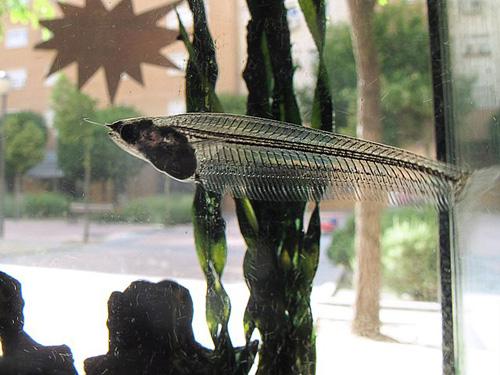Le silure de verre est un poisson entierement transparent