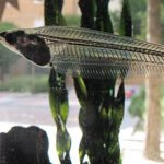 Le silure de verre est un poisson atypique